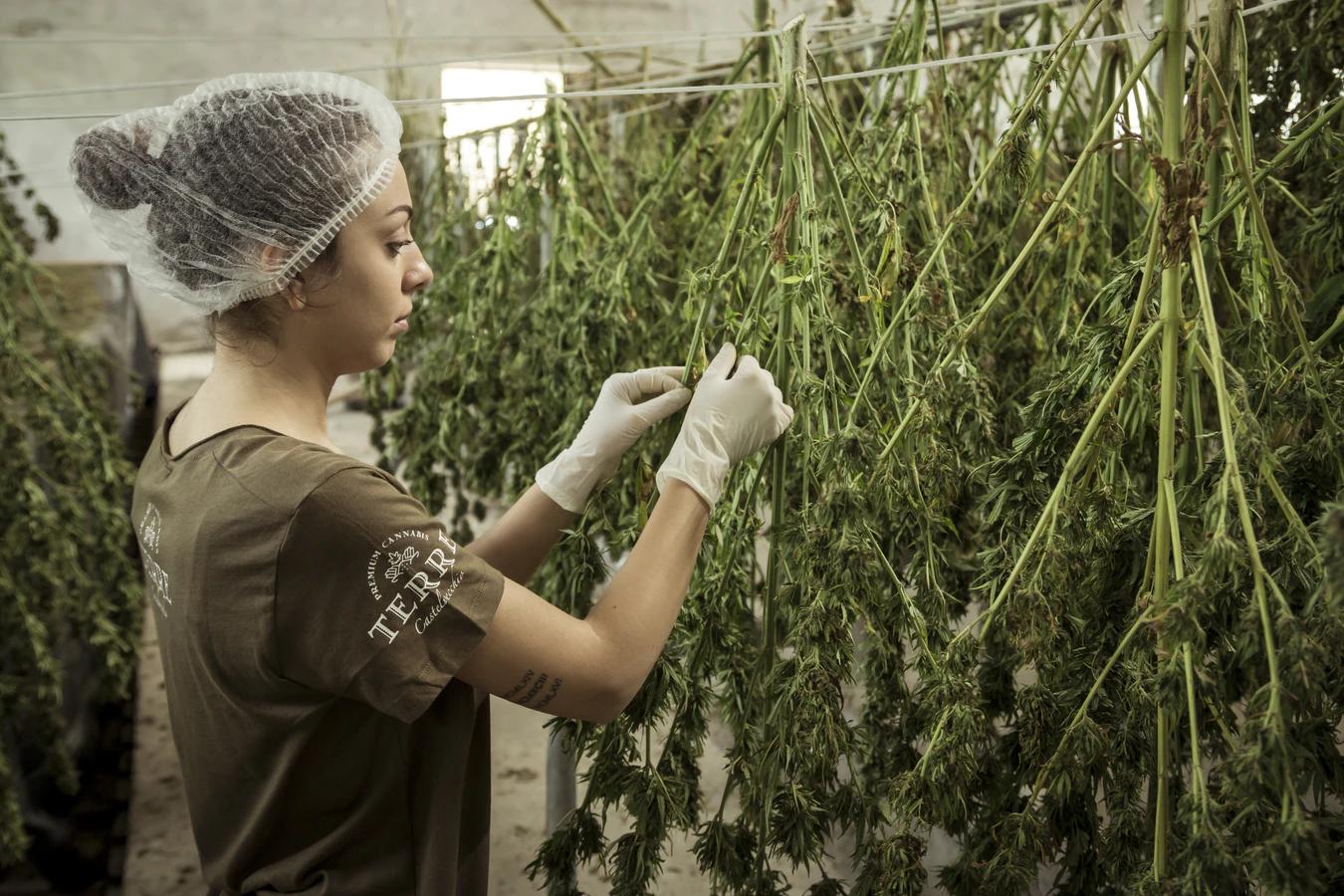 cannabis-grower-hangs-dried-flower