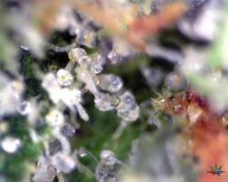 Bubble-Gum-Altitude-Organics-Platte-12