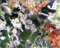 Bubble-Gum-Altitude-Organics-Platte-13