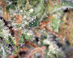 Bubble-Gum-Altitude-Organics-Platte-4