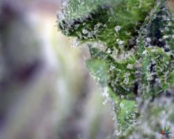 Bubble-Gum-Altitude-Organics-Platte-8